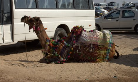 Camels need public transport too
