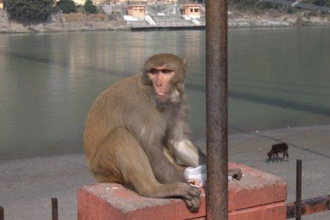 Monkey, plus background cow on a beach. 'Nuff said.