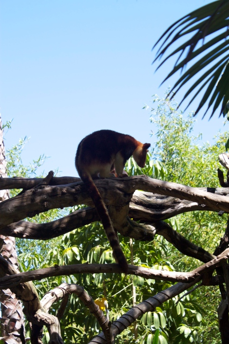 So there's such a thing as a TREE KANGAROO. Here's one chillaxing on a bonafide branch.