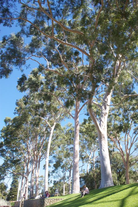 The lemon gumtrees that line the entrance to the park.