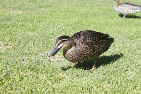 English looking evil duck...