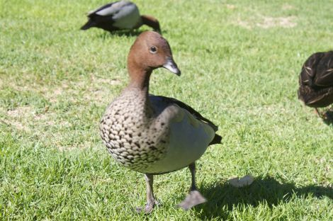 Pretty and elegant Aussie duck... discuss.