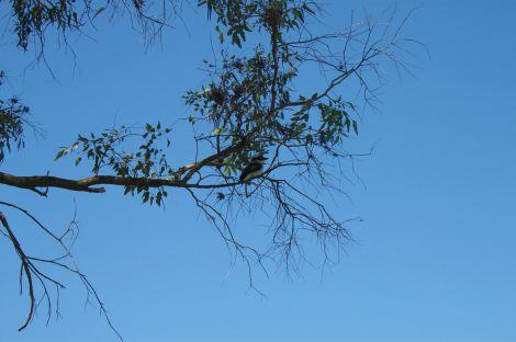 Kookaburras! You hear 'em before you see 'em.