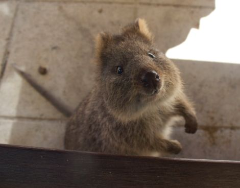A very curious Quokka indeed... G'day mate!