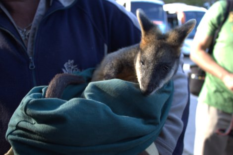 Baby wallaby at Featherdale!