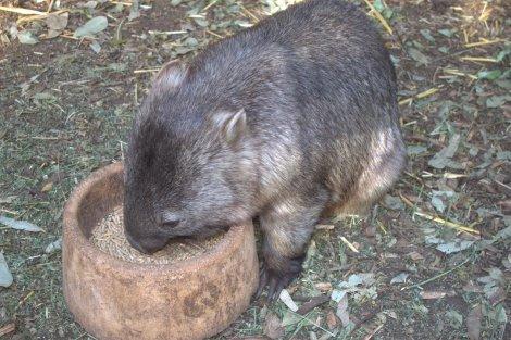 Mr. Wombat.