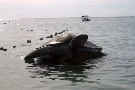 Koh Tao's namesake: Turtle Island.